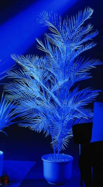 EUROPALMS Kentiapalme, uv-weiß, 90cm